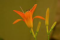 A close-up of an orange flowering Day Lily ( Hemerocallis fulva ) ,with a green background.