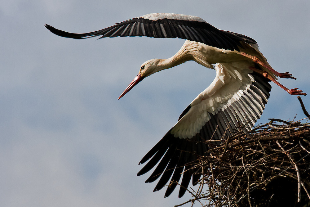 In Arrabida Nature Reserve a White Stork (Ciconia Ciconia) leaves its nest.