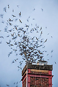 Thousands of Vaux's swifts (Chaetura vauxi) fly into the chimney at the Wagner Performing Arts Center in Monroe, Washington. As many as 26,000 Vaux's swifts use the chimney as a roost each night during their spring and fall migrations. Vaux's swifts do not have back talons, so they cannot stand or perch; when roosting for the night, they cling to rough surfaces, mainly old-growth trees and the inside of old chimneys. They spend their days in flight catching insects and at night roost communally to conserve heat. The migratory roost in Monroe is one of the largest in North America.