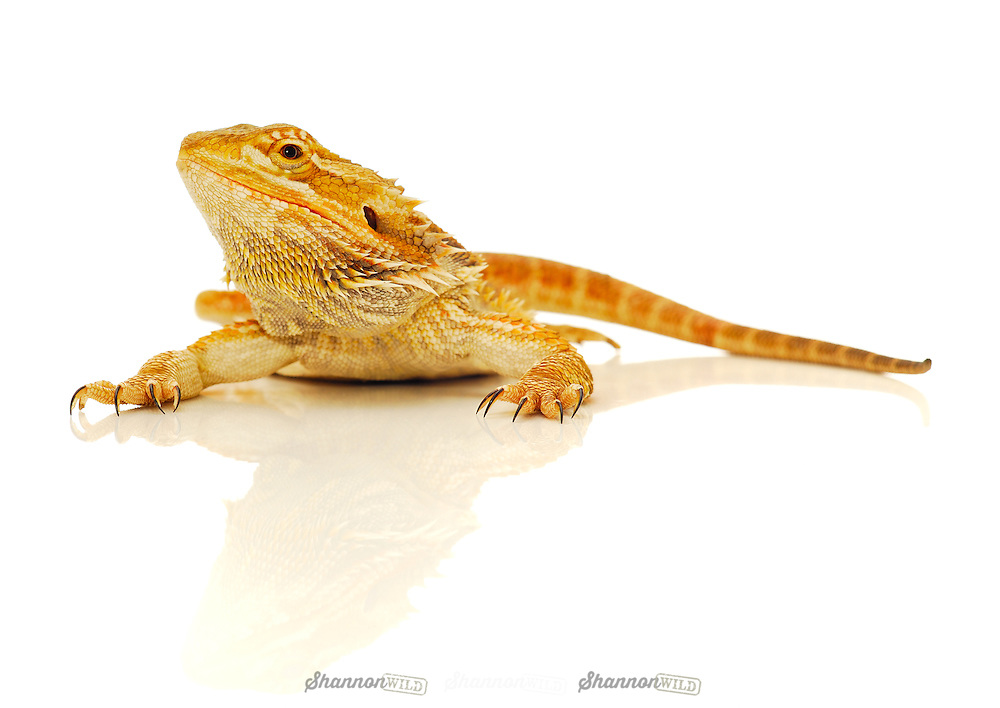 Yellow Phase Central Bearded Dragon (Pogona vitticeps), also known as the Inland Bearded Dragon. Female.