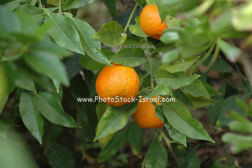 Oranges on an orange tree