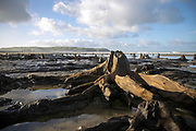 BORTH, WALES, UK 17TH MARCH 2020 - Landscape of ancient petrified tree stumps lining the shoreline at Borth Beach, County of Ceredigion, Mid Wales, UK. <br /><br />Appearing at low tide and known as 'the lowland hundred' or the 'sunken hundred,' the ancient stumps have been preserved by the sand and peat for thousands of years and are believed to be connected to the mythical kingdom of Cantre'r Gwaelod. Small areas were uncovered by extreme stormy weather in 2010 and 2014, but the majority were unearthed by Storm Hannah in 2019.
