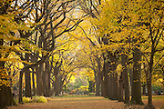 Fall trees in Central Park. Literary Walk.