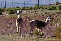 LLAMAS (Lama glama), PROV. DE JUJUY, ARGENTINA