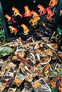 Prints of extinct golden toad photo by Michael Fogden, Bufo periglenes, Monteverde, Costa Rica