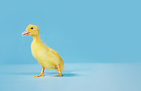 Duckling on blue background