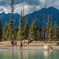 elk herd in river