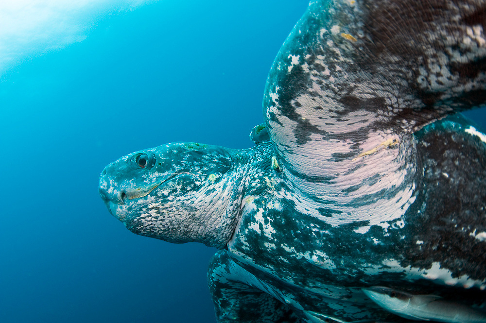 Male Leatherback Sea Turtle (Dermochelys coriacea) photographed in the open ocean. The Leatherback is one of the world's largest reptiles, reaching close to 2,000 lbs. and nearly 10 ft. in length. Severely endangered, the species is threatened by coastal development, poaching and entanglement with fishing equipment. Image available as a premium quality aluminum print ready to hang.