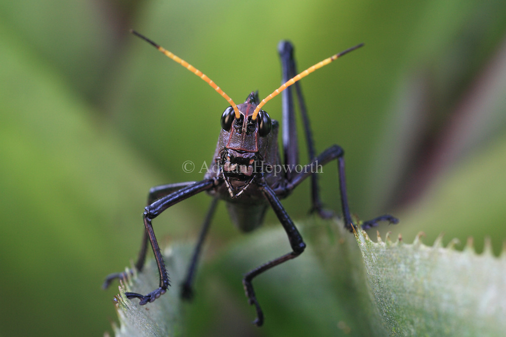 Neotropical Lubber Grasshopper (Taeniopoda reticulata) in rainforest, La Selva Biological Station, Costa Rica. <br />