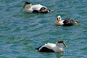 Drake King Eider (Somateria spectabilis) swimming with Drake Common Eiders - Somateria mollissima