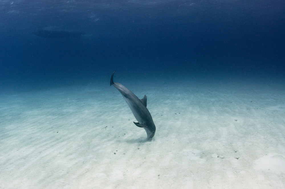 This bottle-nosed dolphin was using sonar to scan the sandy bottom looking for buried fish. When she would find one she would dig her head into the sand until she came up with the tasty morsel.