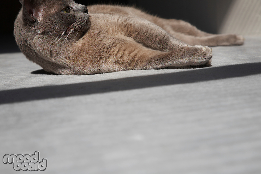 Cat Laying on Floor in Sunshine