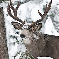 muledeer buck, 4point, trophy, snow, winter, rut, attentive, alert