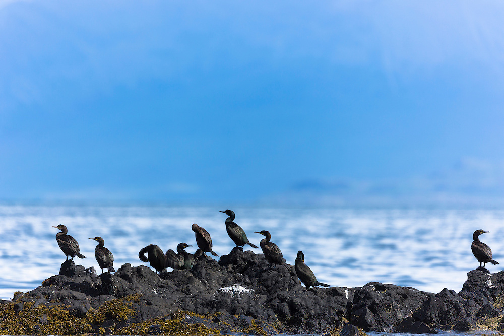 Colony of Cormorant coastal birds, Phalacrocorax carbo, on rocks on Isle of Canna part of the Inner Hebrides and Western Isles in West Coast of Scotland
