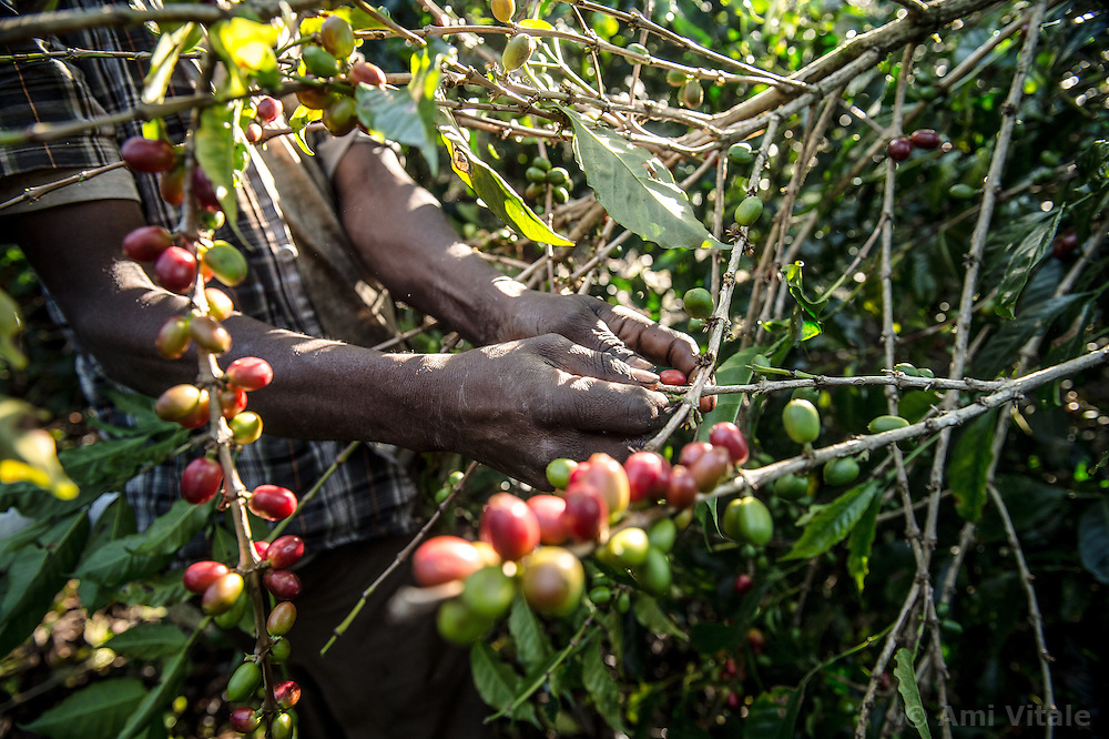 Admasu Ayele harvests coffee on the Teppi plantation in the Kaffa region of Ethiopia. It is one of Ethiopia's largest plantations where Starbucks buys much of its coffee from Ethiopia.Coffee permeates the cultural fabric of Ethiopian life, and is celebrated daily in coffee ceremonies. Families prepare it in the living room using a pan to roast over coals, a mortar and pestle to grind, and a clay pot to boil and brew. The coffee ceremony is at once a social tradition, a celebration of the virtuous properties of coffee, and an opportunity for contemplation and reflection. Coffee is served over a period of time in three individual rounds?the Abol, Tona, and Baraka, each of which has its specific significance. Life without coffee is almost unimaginable?most people drink it in the morning, the afternoon, the evening, and sometimes late into the night. Ethiopia is one of only two producing countries that drink more than half of what they grow.