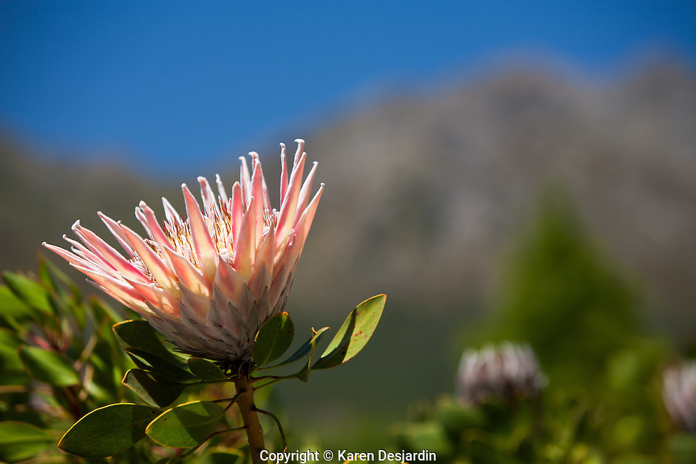 A King Protea flower in bloom, South Africa. The King Protea is the national flower of South Africa.