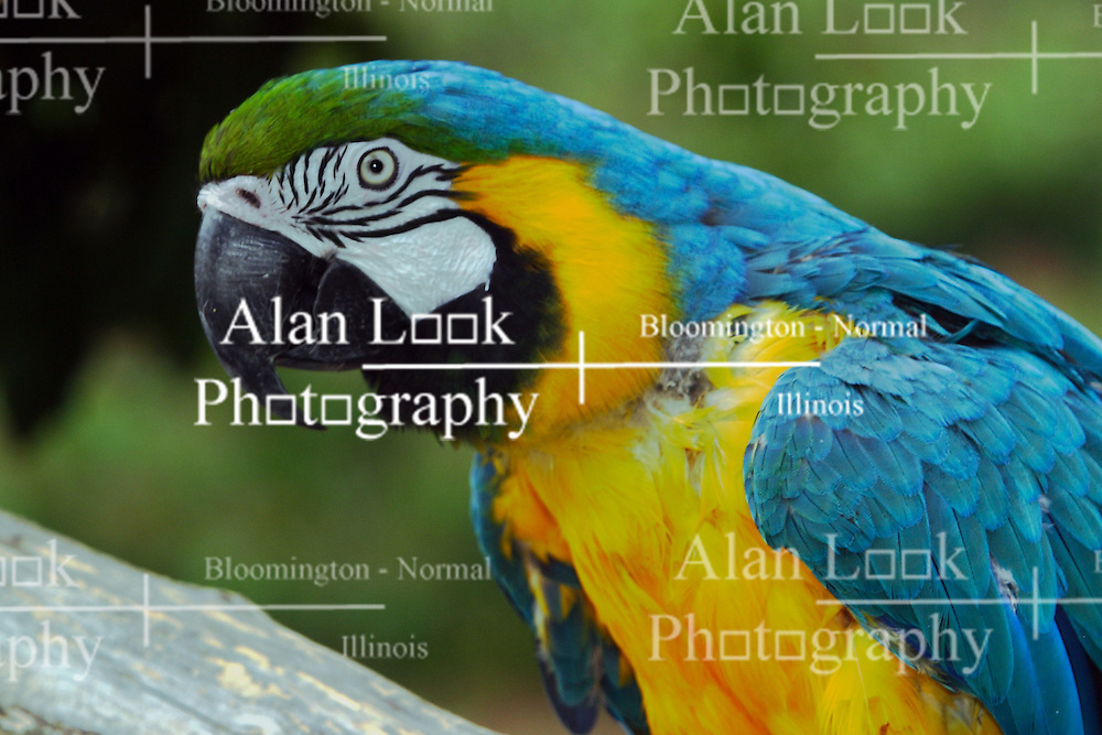 03 July 2006  A quick vacation through Iowa to Omaha.  blue and yellow macaw. (Photo by Alan Look)