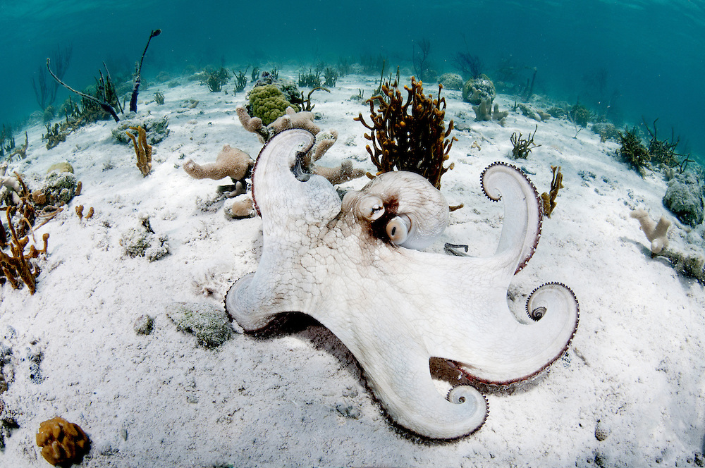 Caribbean reef octopus flexing muscles.