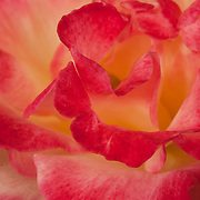Pink and white rose close up.