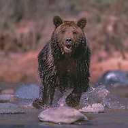 Grizzly bear charging playfully in stream, [captive, controlled conditions] © 1999 David A. Ponton