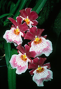 orchid; white; rose; pink; cymbidium hybrid; cultivated flower, vertical