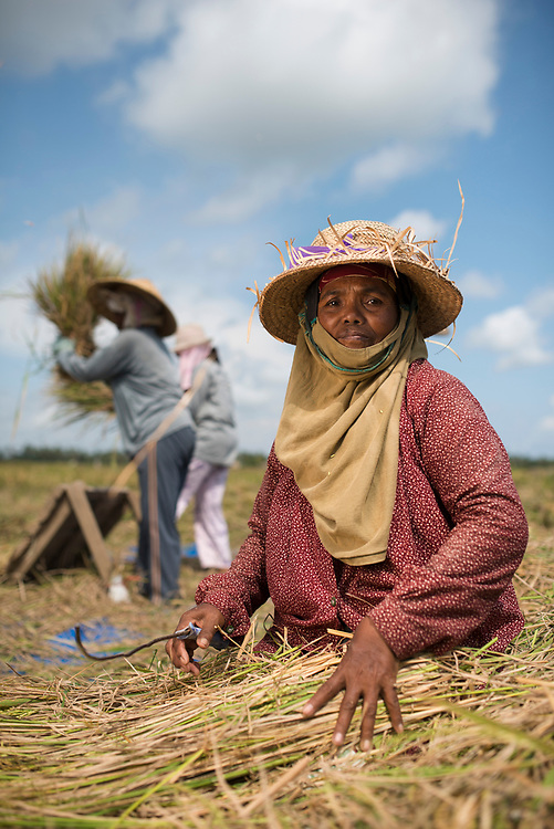 Rice harvest, threshing and winnowing in the field in Bali. This woman is gleaning, taking what little rice she can get from the leftovers of harvest.