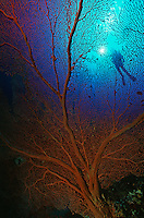 Gorgonian sea fan with sunshine on surface and silhouette of diver