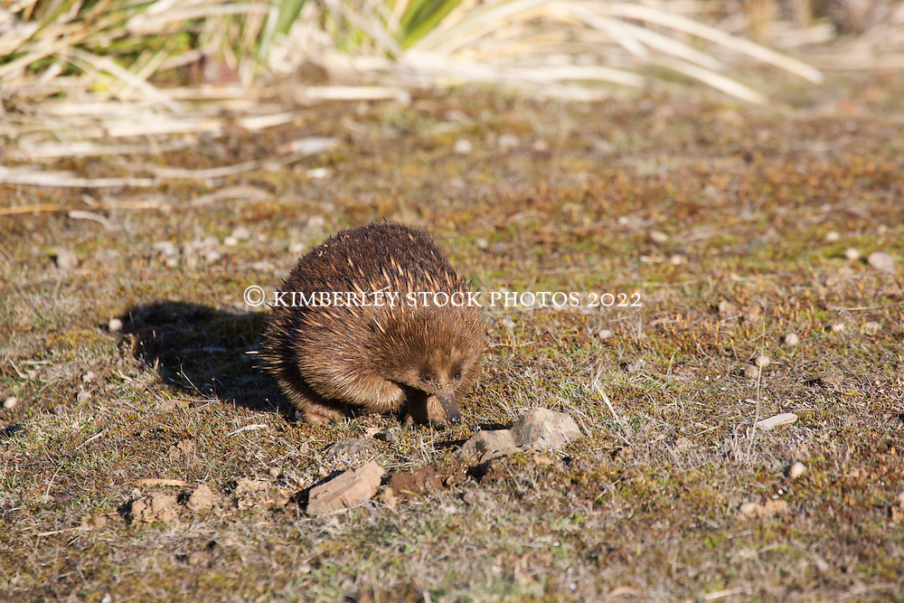 A Tasmanian Echidna forages for ants in bushland near Cressy in Tasmania's northern midlands.