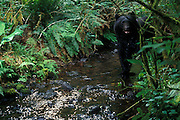 A wild black bear (Ursus americanus) reacts to the click of a trail camera in a stream in SW Washington. This bear was photographed on the de-commisioned U.S. Army Camp Bonneville. Nearly a century of live fire exercises left parts of the camp riddled with unexploded ordinance. The camp was closed, and the animals moved into the area.