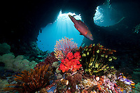 Linecheeked Wrasse, Soft Corals and Crinoids in front of coral arches..Shot in West Papua Province, Indonesia