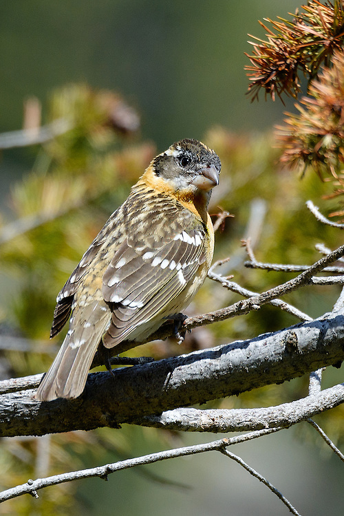 Young Black-headed Grosbeak