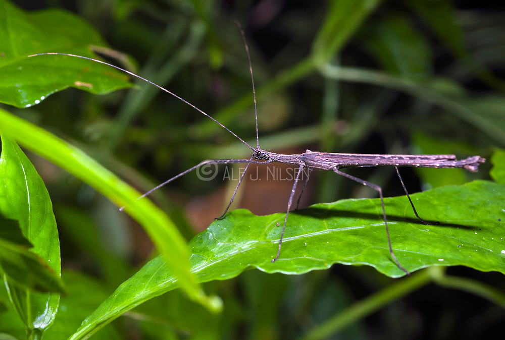 Unknown species of walkingstick from La Selva, Ecuador.