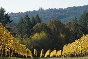 Goldenn fall colors at Patricia Green Cellars estate vineyard, Ribbon Ridge AVA, Willamette Valley, Oregon