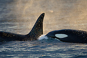 Orca or Killerwhale (Orcinus orca) feeding on herring in the Tysfjord area (Norway). Male Orcas grow up to 7 m, while females are aout 5 m in length. | Schwertwale, Orcas (Orcinus orca) ziehen in den Wintermonaten in die Fjorde, um dort die überwinternden Heringe zu jagen. Tysfjord, Norwegen.