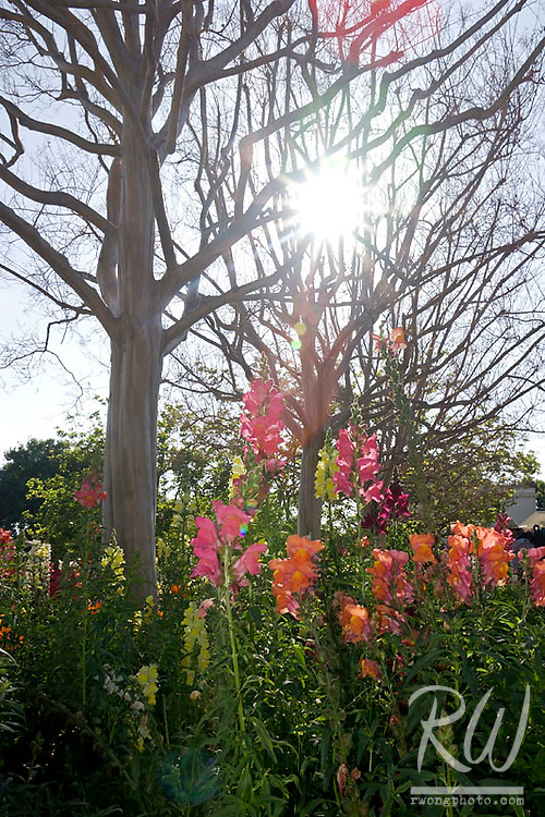 Flowers and Sunstar, Huntington Botanical Gardens, California
