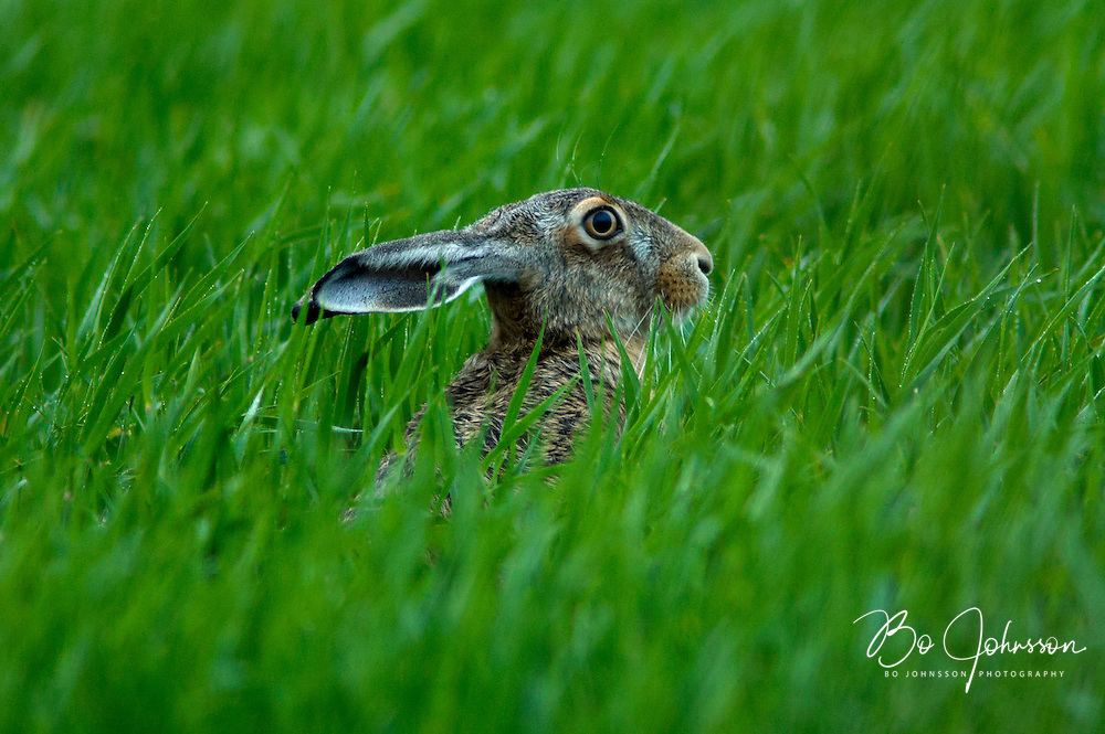 Brown hare (fälthare, Lepus capensis) taking an evening rest in the light summer rain. In the spring and summer there are plenty of fresh crops in the farmer's fields, a favorite feeding spot for the hares. <br />