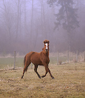 pony trotting in misty field