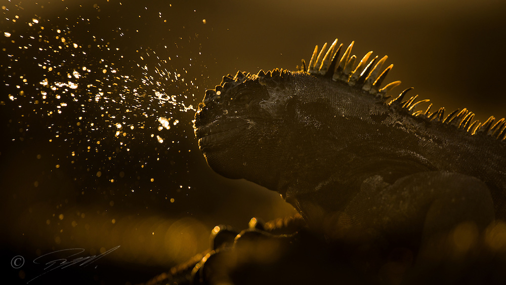 A Marine Iguana on Galapagos, cleaning his nostrils is a sudden sneeze. Shot backlit on Isabela Island.