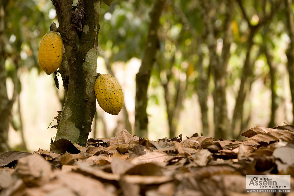 Ripe cocoa pods hang from a tree on a farm in the town of Assin Adadientem, roughly 100km west of Ghana's capital Accra on Sat. January 21, 2007. The pods grow on the trunk of the tree - not its branches - and turn from green to yellow as they mature.