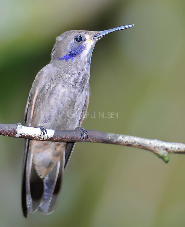Brown Violet-ear (Colibri delphinae) from Mindo, Ecuador.