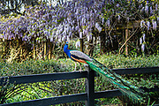 A male Indian peacock perches on a garden fence in spring at Magnolia Plantation in Charleston, South Carolina. The plantation and gardens were built in 1676 by the Drayton Family and remains under the control of the Drayton family after 15 generations.