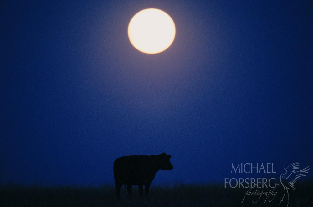 Cow in pasture under a full moon in the Nebraska Sandhills.