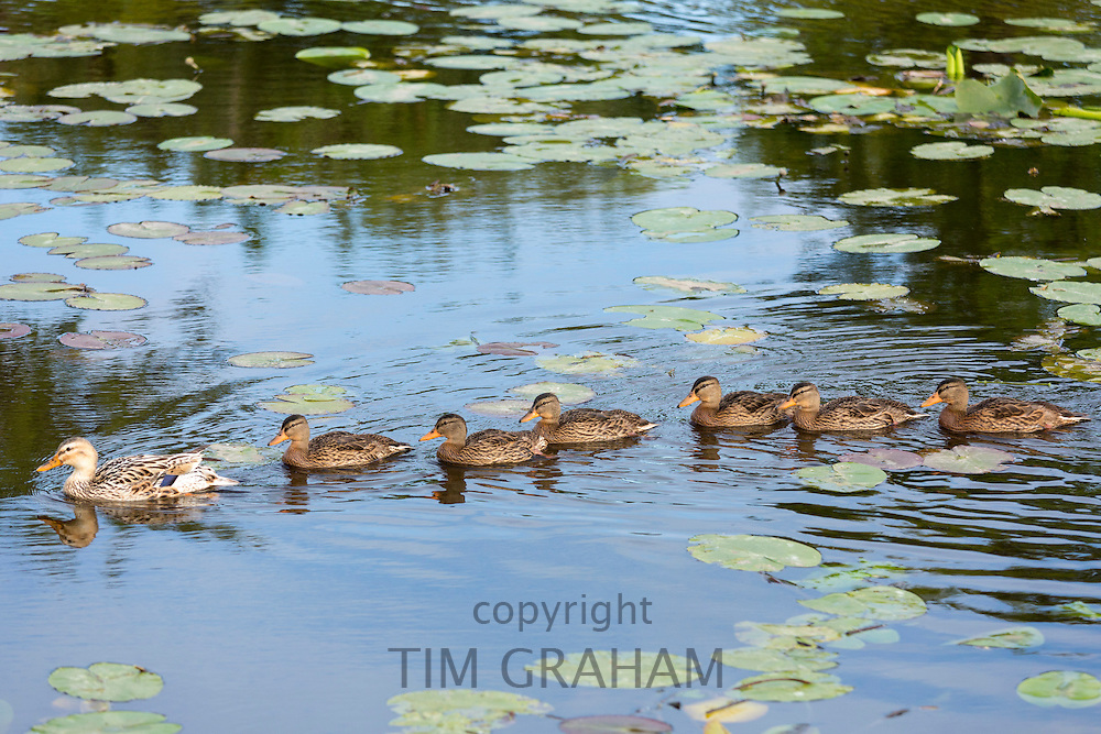 Female mother Mallard duck crossbreed with juvenile ducklings following the leader in dyke waters at Kinderdijk, Holland