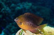 Threespot Damselfish (Stegastes planifrons)<br /> BONAIRE, Netherlands Antilles, Caribbean<br /> HABITAT & DISTRIBUTION: Reef tops in areas of algae growth & staghorn coral.<br /> South Florida, Bahamas, Caribbean, Gulf of Mexico & Bermuda.