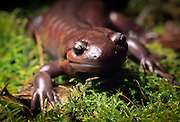 Northwestern salamander (Ambystoma gracile) portrait.