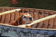 Jack Gribble's Golden Retriever, Cider, enjoys a ride on the Eau Claire River in Bayfield County in one of Jack's handmade birch bark canoes.