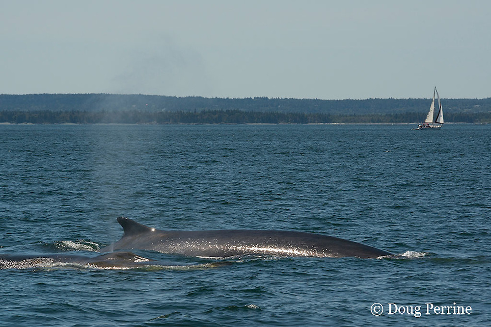 fin whales or finback whale, Balaenoptera physalus, blowing or spouting off Grand Manan Island, with sailboat in background, Bay of Fundy, New Brunswick, Canada ( North Atlantic Ocean )