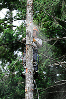 Tree feller at work,  Gabriola Island , British Columbia, Canada