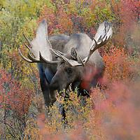 Alaska Bull Moose.