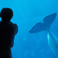 Canada, British Columbia, Vancouver, Beluga whale (Delphinapterus leucas)  swims past visitors at Vancouver Aquarium